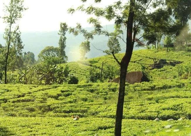 Beautiful tea plantations near Kandy