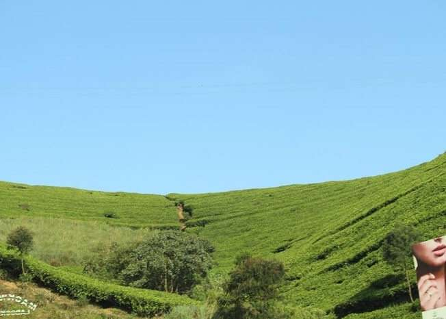 Beautiful view of tea plantations