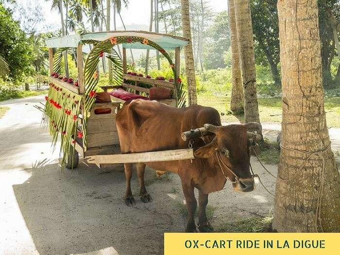 Taking a ox cart ride on La Digue island is one of the romantic things to do in Seychelles