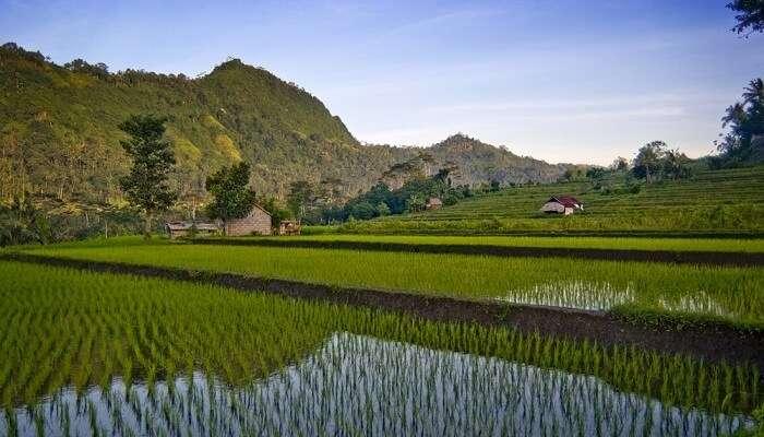 Sidemen Bali Rice Field