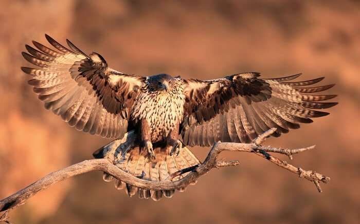 spot Bonelli's eagle at gir