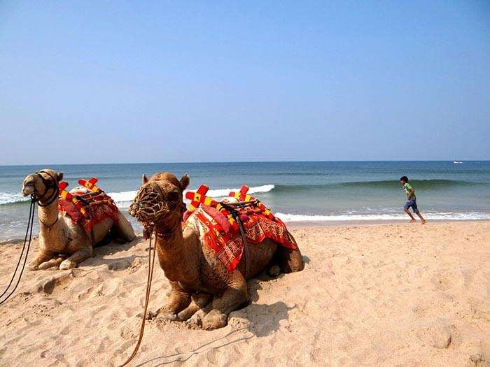 The famous camel ride at Ganpatipule