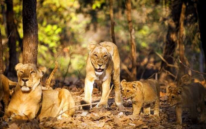 spot asiatic lions at gir national park