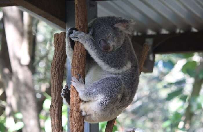 Lone Pine Koala Sanctuary Animal