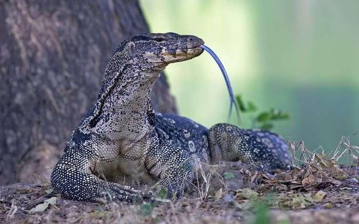 spot monitor lizards at gir national park