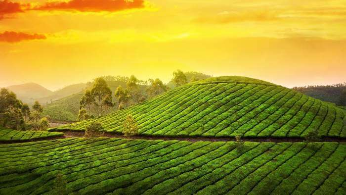 The beautiful tea plantation at Munnar in Kerala