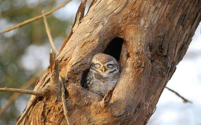 spot sleepy owls at gir