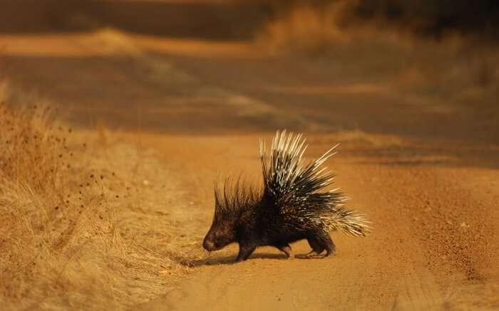 spot porcupines at gir national park