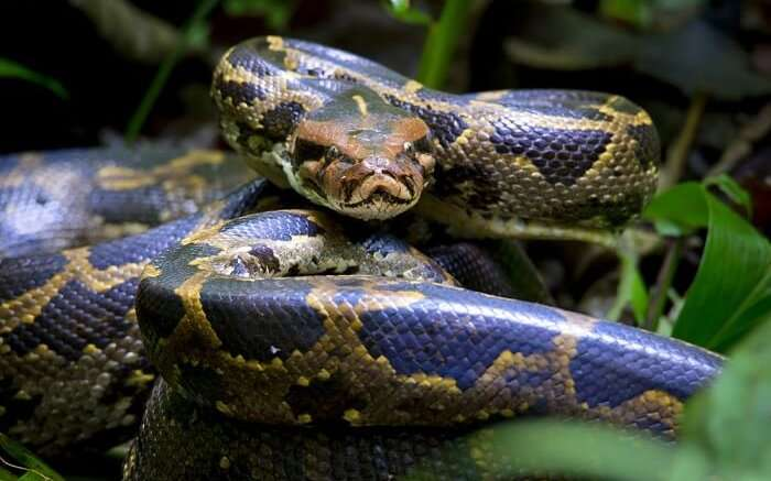 spot pythons at gir national park