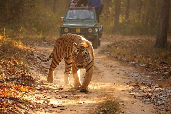 Tourists spot a Royal Bengal Tiger during their jeep safari through the Kanha National Park
