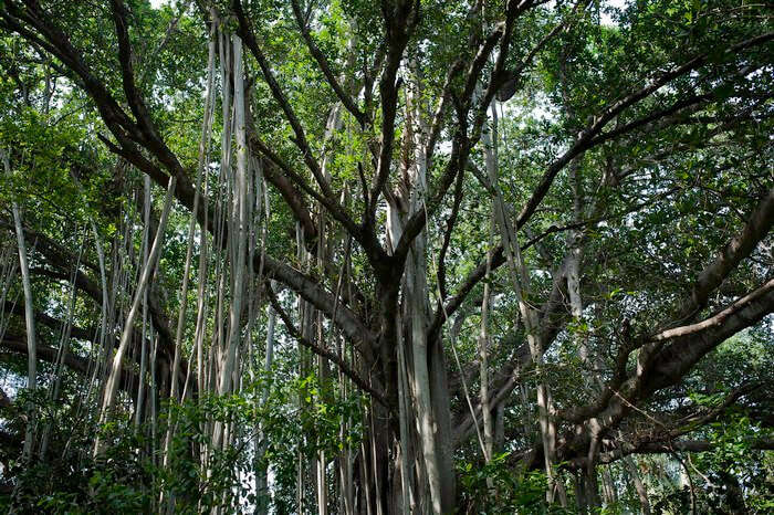 The Banyan tree in the Theosophical Society hosts of ghosts that scream after the sunset