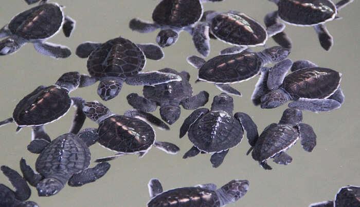 Turtle atchery