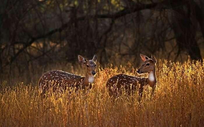 spot deer at gir