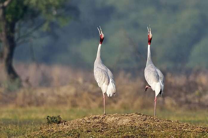 migratory birds in bharatapur