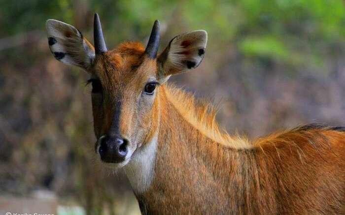 spot nilgai at gir national park