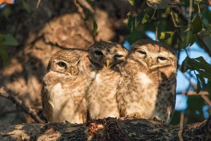 owl in bharatapur