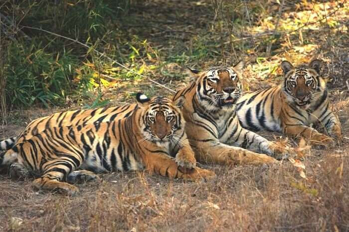 Tigers spotted during a jungle safari in Pench