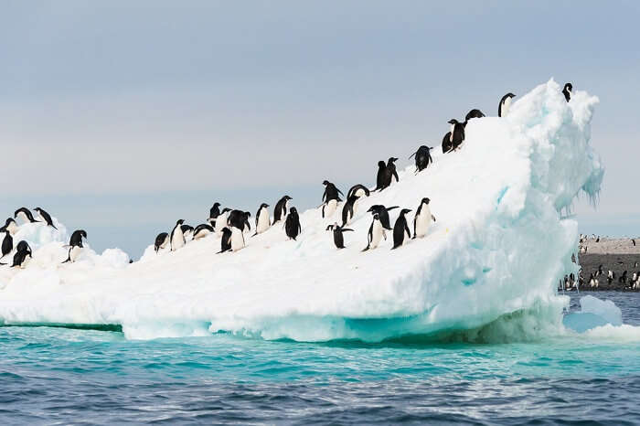 Adelie penguins colony on the iceberg in Antarctica
