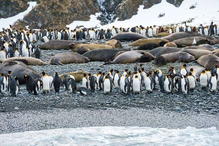 A snap capturing walruses and penguins on an island in Antarctica