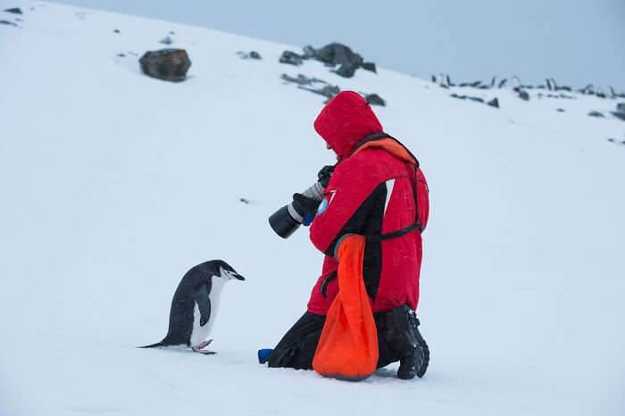 Tourist taking photo of Chinstrap penguin in Antarctica