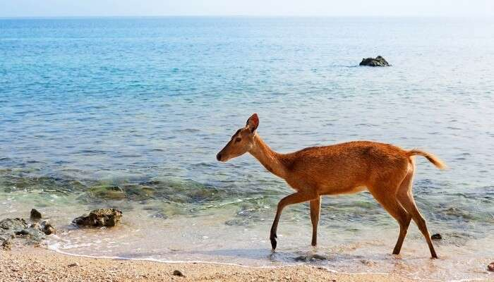 Young fawn of Javan Rusa on beach of Bali west national park and Menjangan ( deer island ) - popular travel destination for scuba diving safari, snorkeling adventure tour, animals sighting trekking.
