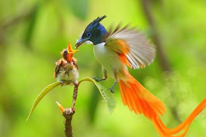 tirthan asian flycatcher