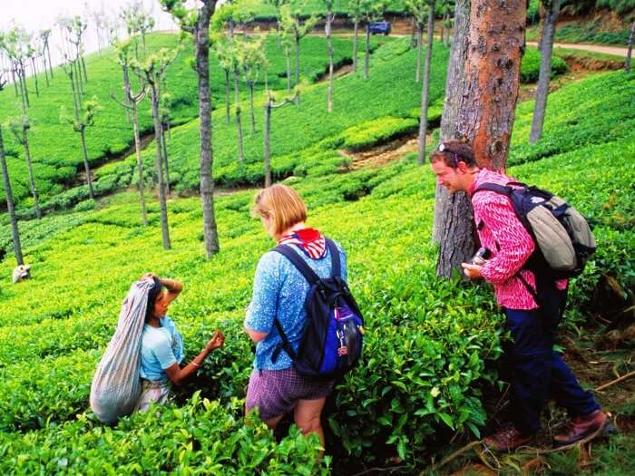 Locally cultivated tea in Munnar, Kerala