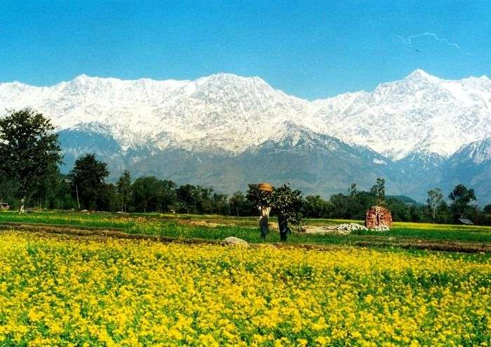 Flowers blooming by the foothills of snow clad mountains, Dalhousie