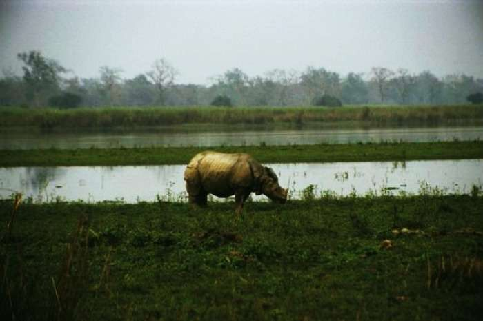 One-horned rhinoceros at Kaziranga National Park, Assam