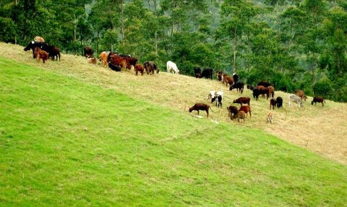 Cattle farming in Mattupetty-Indo, Kerala