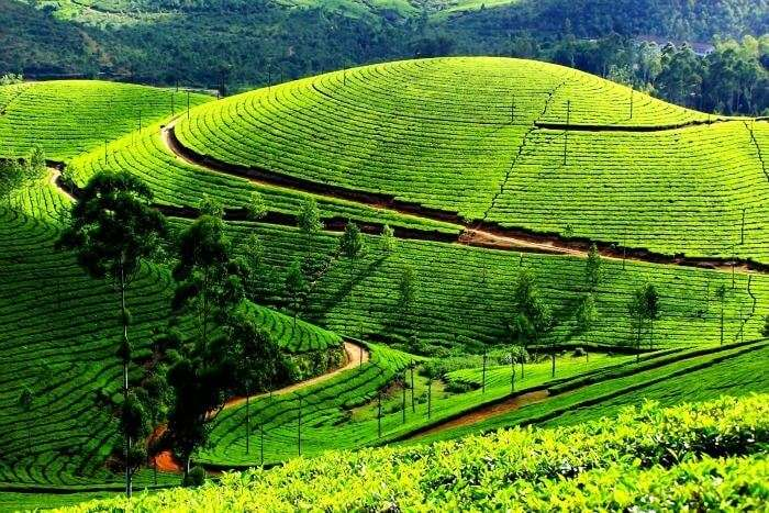 Munnar Tea Farms - a popular hill station in Munnar