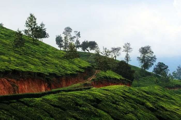 Tea & coffee plantations in Poopara, Munnar