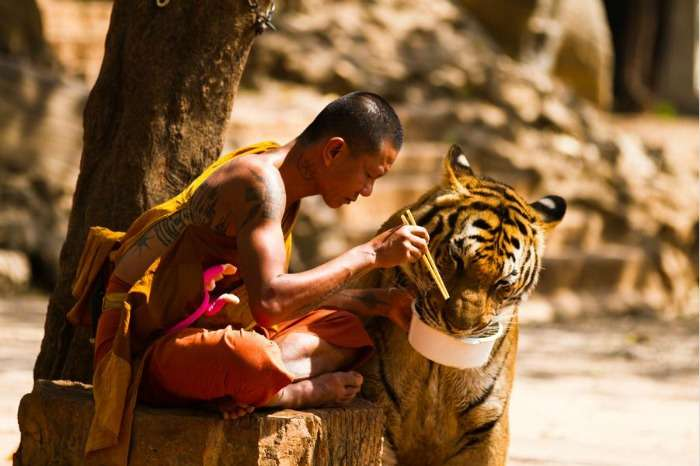 Tiger Temple - a popular tourist attraction in Bangkok