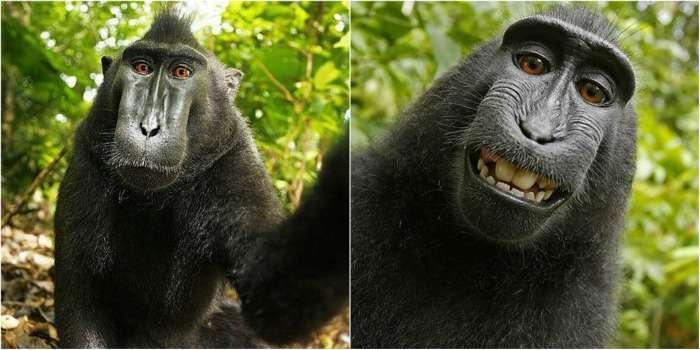 Controversial Monkey Selfie