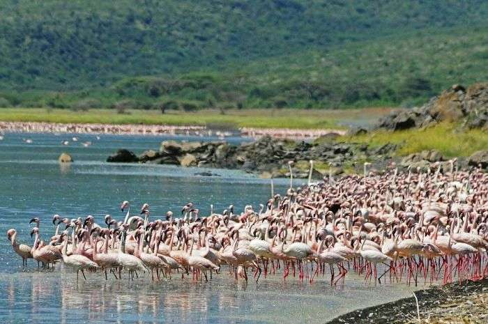Wide display of birds especially flamingos at Lake Nivasha