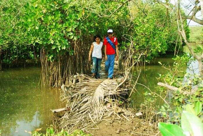 Mangrove Trail of Malabar near Valiyaparamba backwaters, Kerala