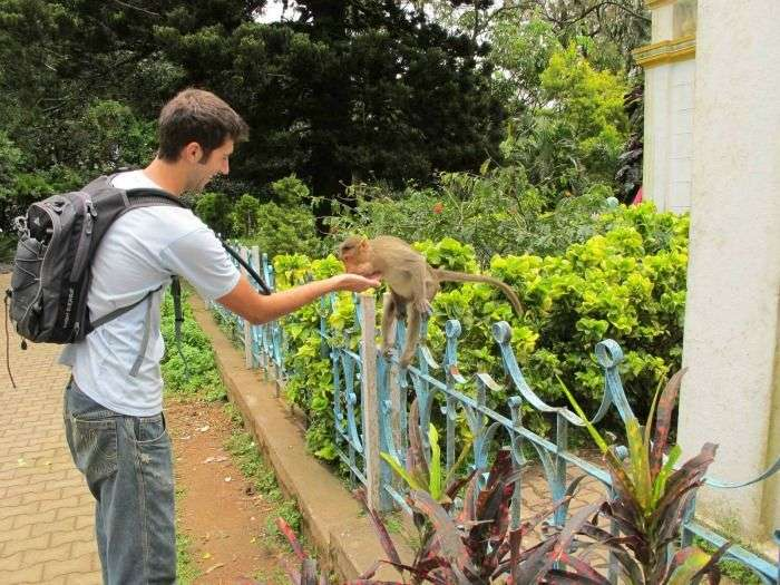 Feeding fruits and nuts to the monkeys at the Sastha temple