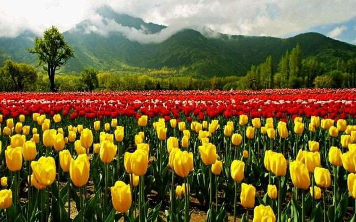 Tulip Gardens in Kashmir, the most romantic Valentine's day destination
