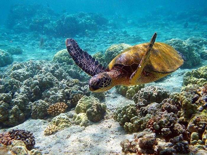 Turtles swimming over Coral reef at Mahatma Gandhi Marine National Park