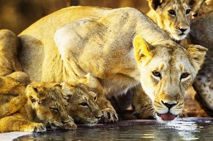 Asiatic lions at The Gir National forest in Gujarat