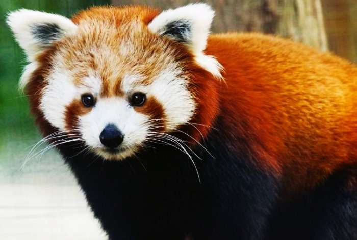 Khangchendzonga is famous for the red panda, Sikkim