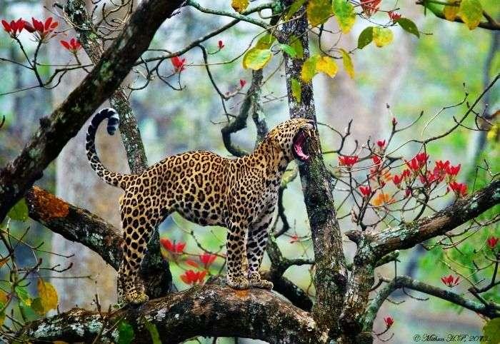 Leopard at Nagarhole wildlife sanctuary, near Bangalore