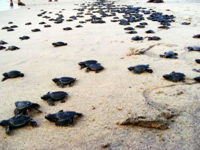 Watching baby turtles at Payyoli Beach in Kerala