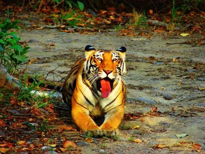 Spot a relaxing Tiger at Periyar National Park, Kerala
