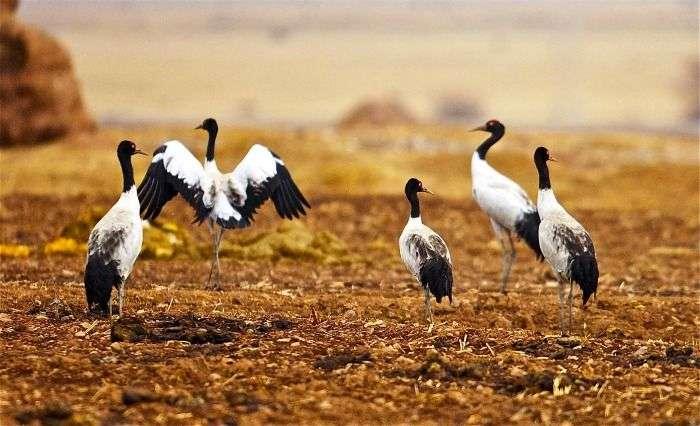 Black neck cranes in Phobjikha Valley in Bhutan