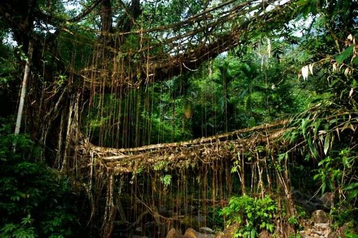 Root bridges - Explore the Himalayas on Foot and Discover the Natural Architecture