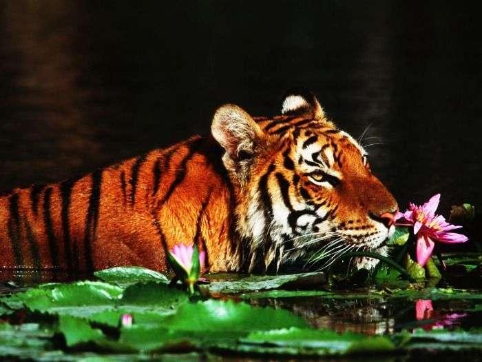 The Royal Bengal Tiger at Sunderbans National Park, West Bengal