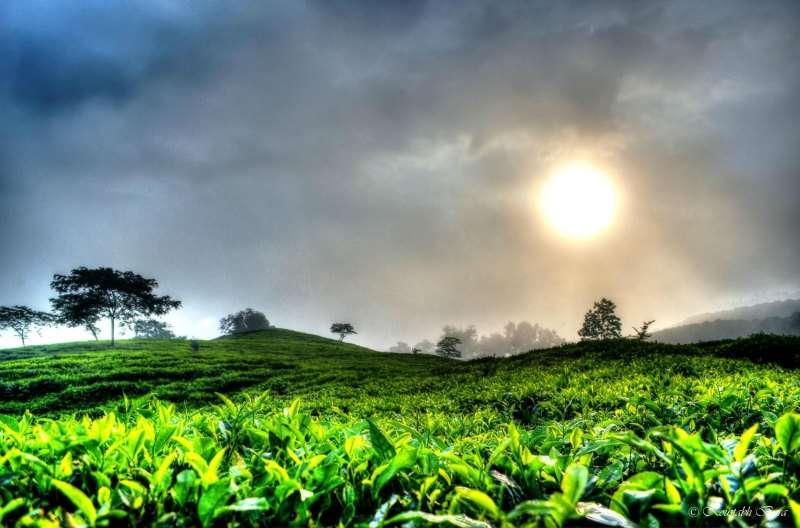 Tea plantations of Assam, Northeast India