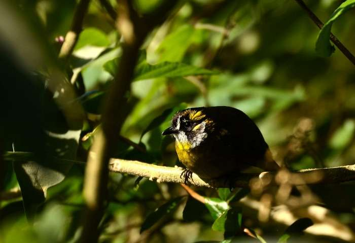 Spot Yellow-eared Bulbul at Horton Plains National Park, Sri Lanka