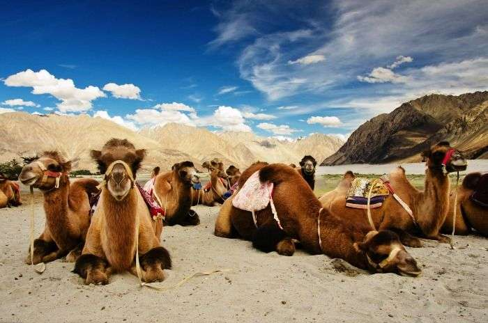 Bactrian Camels at Hunder in Ladakh